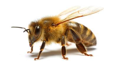 Honey Bee Relocation