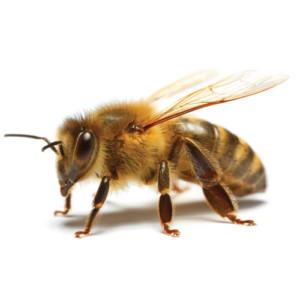 Honey Bee Relocation, New York, New Jersey