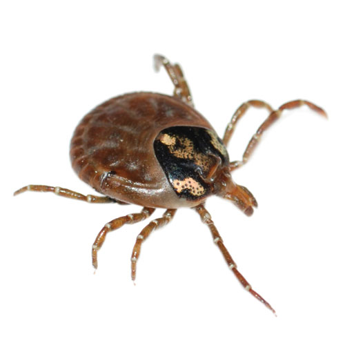 Long Island Ticks