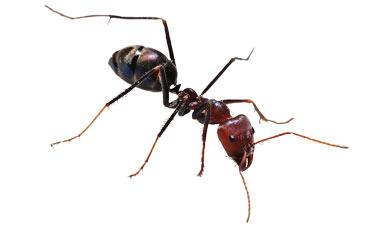 Ant Exterminator Brooklyn New York