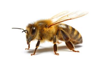 pest-slider-bee