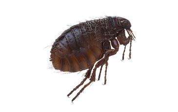 pest-slider-fleas