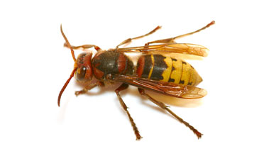 Hornets & Wasps — Extermination, New York, New Jersey, Brooklyn, Queens