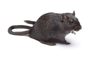 pest-slider-rats